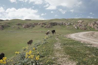 Kühe neben der Abfahrt vom Mels Pass