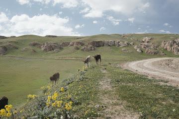 Kühe neben der Abfahrt vom Meas Pass