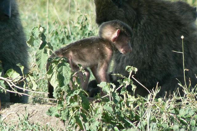Serengeti National Park - monkeys