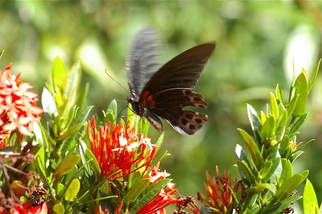 Papilio memnon memnon LINNAEUS, 1758, mâle. Gomantong (Sabah), 14 août 2011. Photo : J.-M. Gayman
