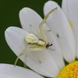 Thomisidae : Misumena vatia (CLERCK, 1757). Les Hautes-Lisières (Rouvres, 28), 11 juin 2013. Photo : J.-M. Gayman