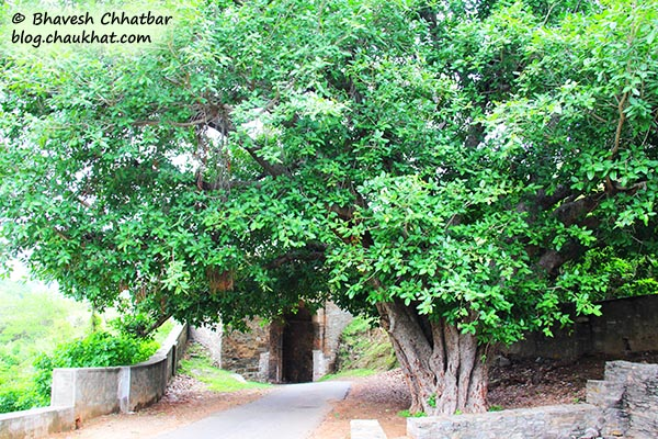 Beautiful tree near Halla Pol Gate of Kumbhalgarh