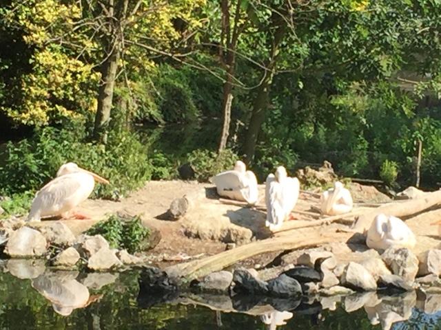 Zoo de Lille pélican