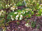 Blueberry bushes May 12.