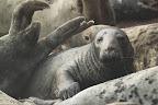 TROP DE MONDE On appelle échouerie l'endroit choisi par les phoques pour s'échouer à marée basse