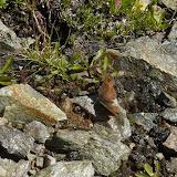Erebia graucasica Jachontov, 1909, endémique. Cheget (Terskol), 2750 m (Kabardino-Balkarie), 8 août 2014. Photo : J. Michel