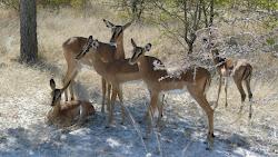 Femelle et petit Impala