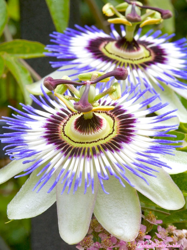 Note for Take Care Passion Flower Indoors in Winter