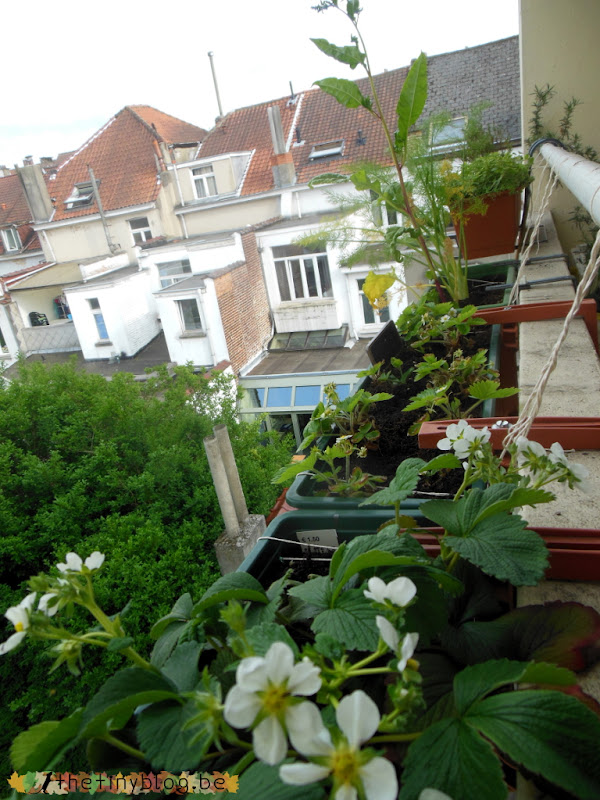 Awakening Balcony Vegetable Garden in Brussels