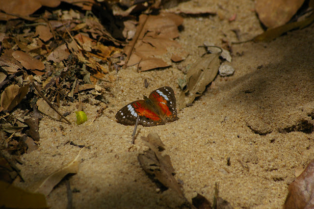 Anartia amathea LINNAEUS, 1758. Ilha Grande, 18 février 2011. Photo : J.-M. Gayman