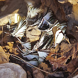 Leptocircini. À gauche : Eurytides agesilaus autosilaus BATES, 1861. Au centre : Protesilaus glaucolaus leucas ROTHSCHILD & JORDAN, 1906. À droite : Eurytides callias ROTHSCHILD & JORDAN, 1906. Rive de la Tambopata, TRC, août 2004. Photo : J.-M. Gayman