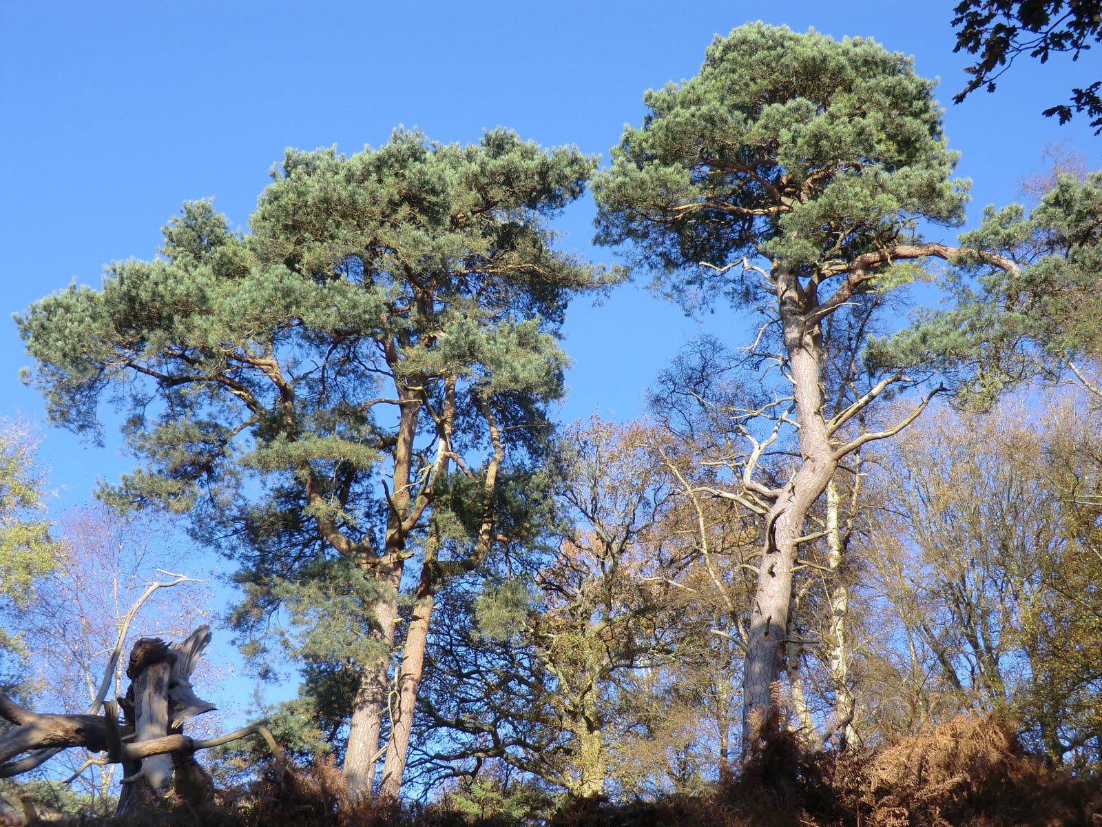 CIMG9689 Scots Pine on St Martha's Hill