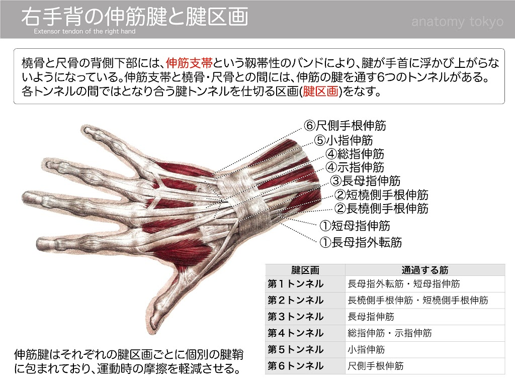 2014-h19-Extensor tendon of the right hand p.165-1-aohas.jpg