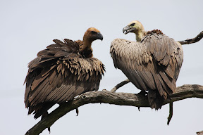 Adult and Juvenile Vultures, Botswana