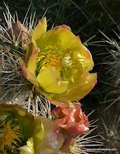 Photo: Cholla blossom; Anza Borrego Desert State Park