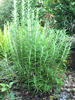 Children in the garden - our rosemary shrub!