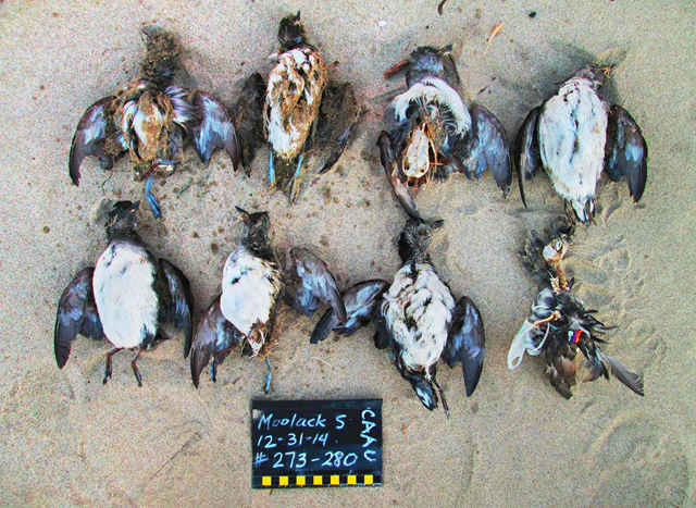 The U.S. Pacific coast witnessed record numbers of dead Cassin's auklets during the record-breaking marine heatwave winter of 2015-2016. Nicknamed 'the blob', it was arguably the biggest marine heatwave ever seen. Photo: D. Derickson / COASST