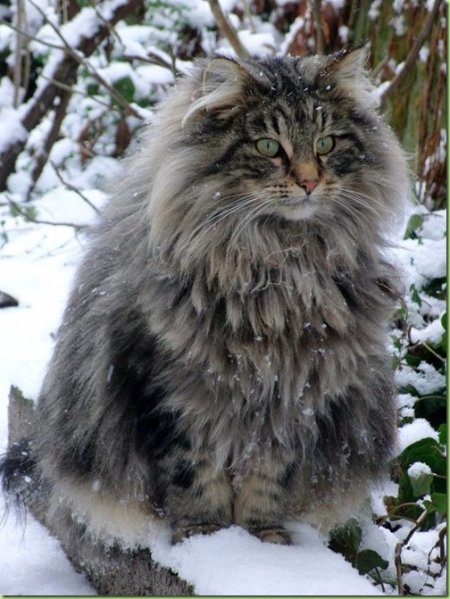 Norwegisch Forest cat