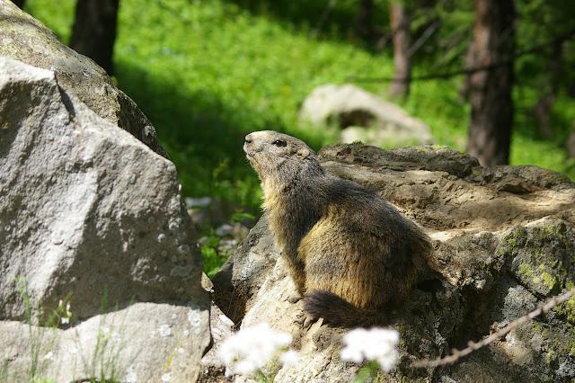 Marmotte. Lac d'Allos, 10 juillet 2010. Photo : J.-M. Gayman