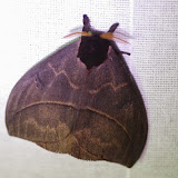 Hemileucinae : Automeris arianae Brechlin & Meister, 2011 ou A. b. belti Druce, 1886, mâle. Mount Totumas, 1900 m (Chiriqui, Panamá), 26 octobre 2014. Photo : J.-M. Gayman