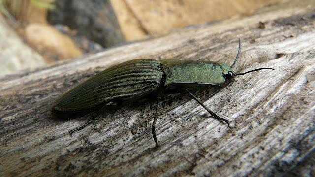 Elateridae : Chalcolepidius porcatus LINNAEUS, 1767. Rio Zongo (alt. 600 m). Bolivie, 30 janvier 2008. Photo : J. F. Christensen