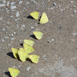 """Clouded Sulphur butterflies """"puddling"""" on road"""