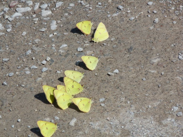 "Clouded Sulphur butterflies ""puddling"" on road"
