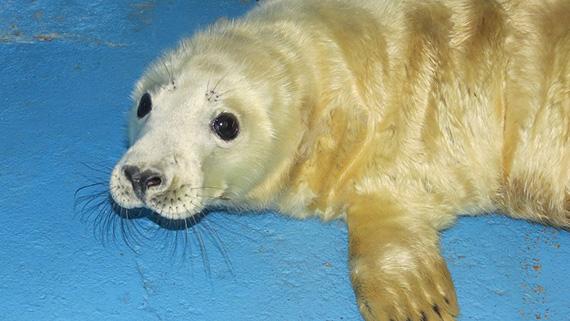 El Zoo de Madrid despide el 2.015 con el nacimiento de una foca gris
