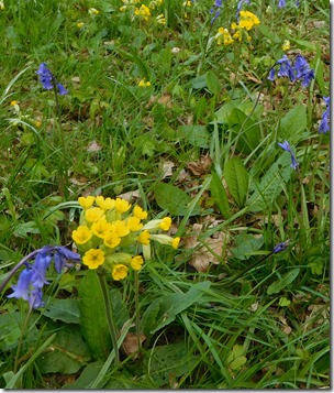 13 cowslips bluebells