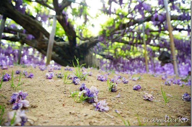 在最美的季節遇見足利紫籐花卉公園:門票交通攻略實況(下)17