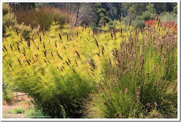 160813_UCSC_Arboretum_Elegia-capensis_004