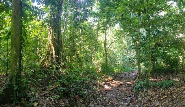 En forêt : Poring, Taman Negara Gunung Kinabalu, Sabah (Malaisie), 9 août 2014. Photo : T. Boucher