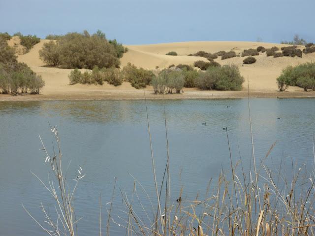 La Charca, die Oase, direkt neben dem Strand, in den Dünen von Maspalomas.
