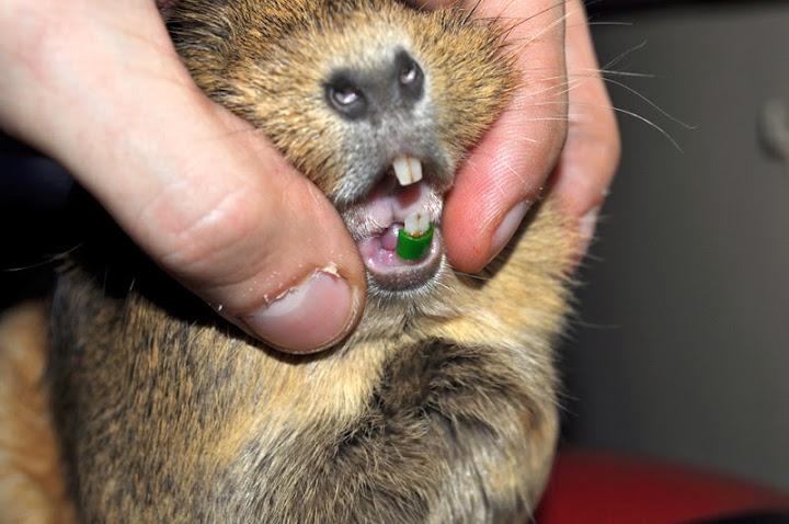 ferde fogat rögzítő gyűrű