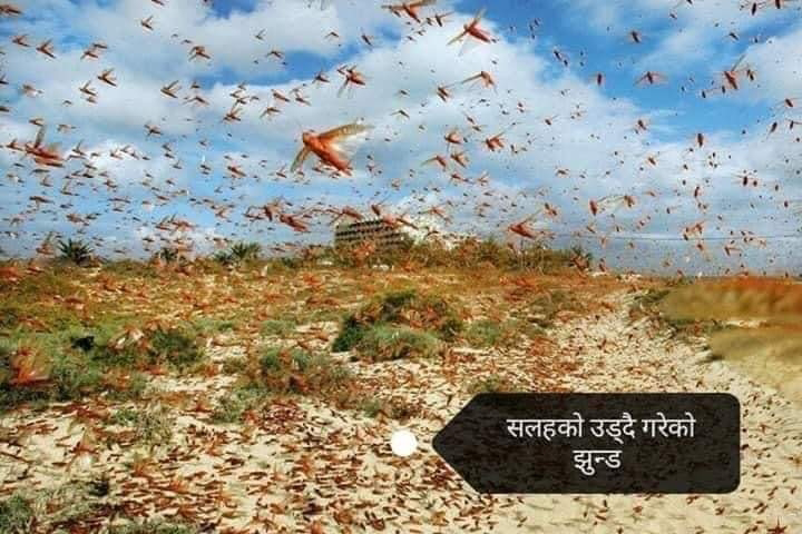Locust attack in Nepal and how to prevent