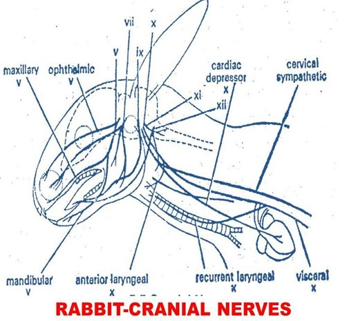 cranial-nerves-rabbit