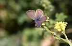 Kanarisk blåfugl, Cyclyrius webbianus4.jpg