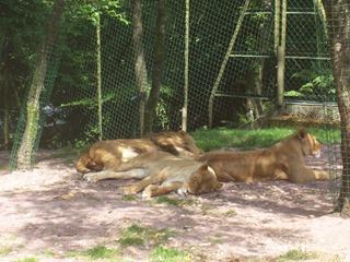2008.07.01-020 lions