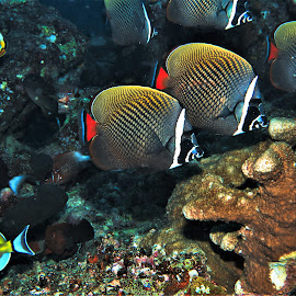 by Phil Bear - Animals Fish ( reef, coral, fish, coral reef, butterflyfish, maldives )