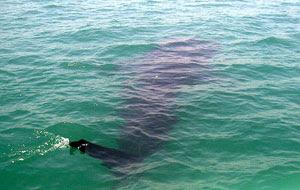 ソルソゴン沖でジンベイザメを見よう