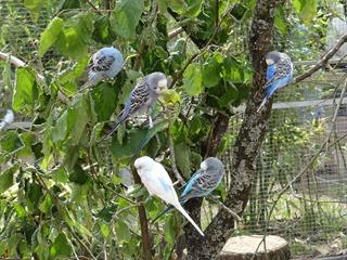 2016.07.31-037 oiseaux d'Australie