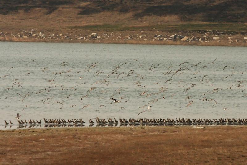 Batausi pasari limicole Fundata primavara birdwatching migratie
