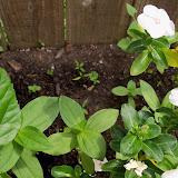 Gardening 2013 - 115_6016.JPG
