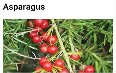 Asparagus spp
