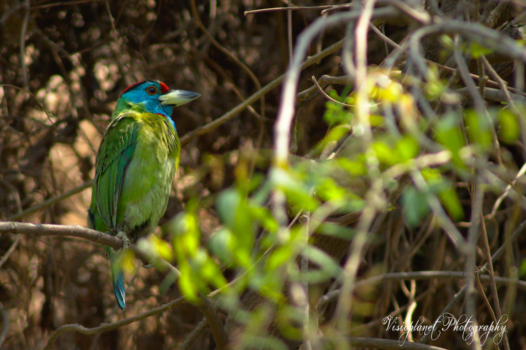 The blue throated barbet by Sudipto Sarkar on Visioplanet
