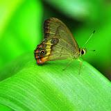 LepidopteresRegionDeSydneyAustralie