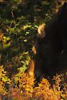 REPAS EN TERRASSE Femelle orignal à l'automne, dans le Parc National de la Gaspésie