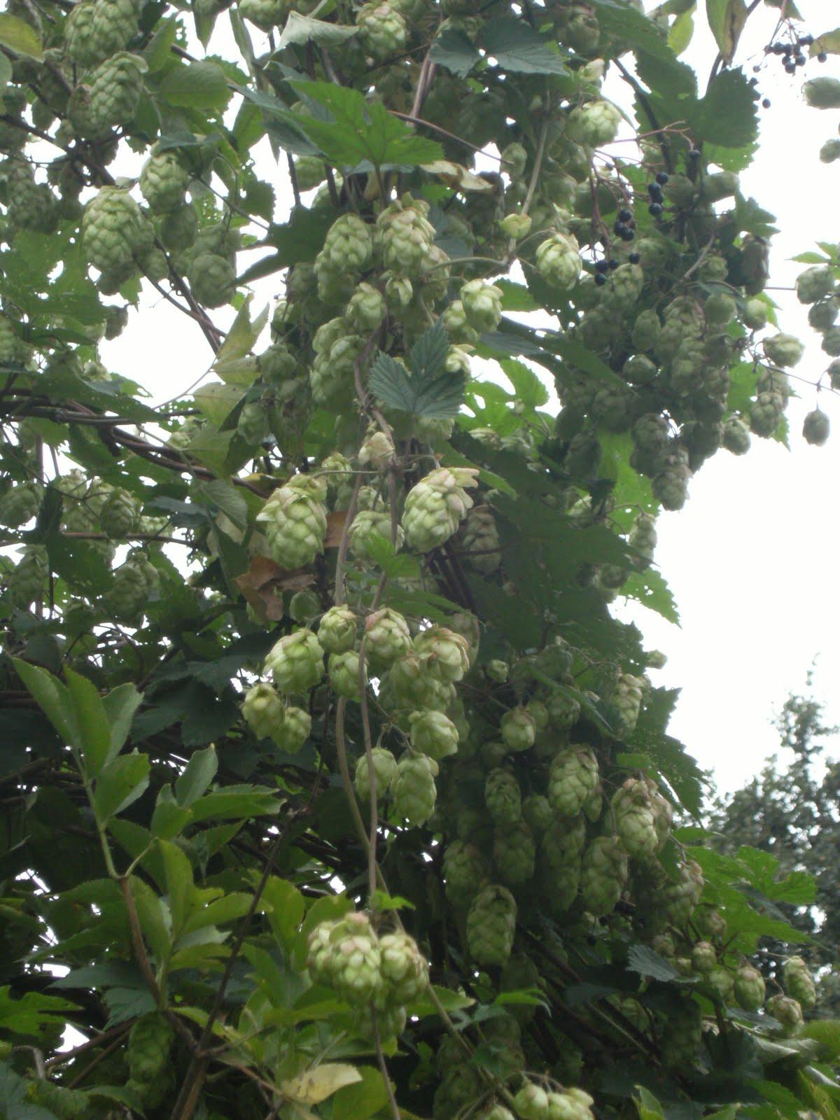DSCF9429 Hops in the hedgerow
