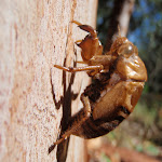 Cicada Shell (237968)
