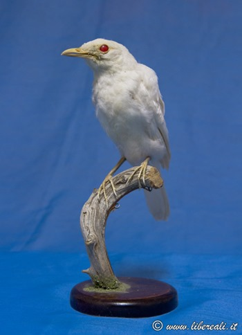 8_Merlo-albino_001